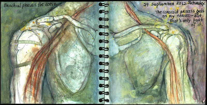 Septmber29_2012_brachial plexus_the nerve