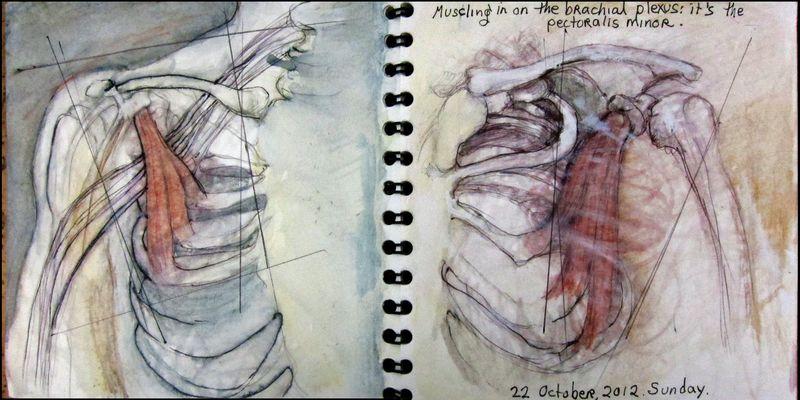 October22_2012_muscling in on the brachial plexus